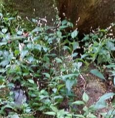 久良岐公園の紅白水引草